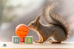 The B of ball (Geert Weggen) Tags: red nature animal squirrel rodent mammal cute look closeup stand funny bright sun backlight staring watching hold glimpse peek up tail message communication letter woodenframe capitals numbers learning school child education learn baby word alphabet teacher ball book kiss elephant geert weggen hardeko sweden bispgården jämtland