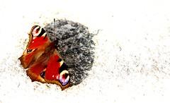 Pfauenauge High Key (Pittiplatsch der Große) Tags: schmetterling sonnenbad pfauenauge tagfalter peacock nymphalinae berlin deutschland germany