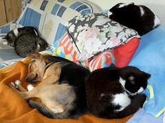 So richtig nett...... (isajachevalier) Tags: hund dog katze cat tier haustier säugetier gemütlich panasonicdcfz82