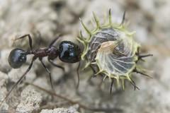 Wild hoarder (Siminis) Tags: siminis heraklio crete greece seeds seed macromondays memberschoiceseeds macro ant hoarder