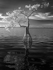 Lone cypress at dawn (Ed Rosack) Tags: cypress usa tree blackandwhite infrared landscape cloud water sky bluecypresslake centralflorida lake calm ©edrosack florida bw cloudy ir verobeach panorama nature