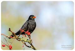 Blackbird (Bolton Wildlife Photography) Tags: blackbird bird animal nature wildlife uk british