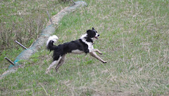 Born to Run (Karen McQuilkin) Tags: borntorun australian sheperd dod running free pyrenees