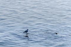 sea gull (chrisb.foto) Tags: möwe seagull deutschland de water meer see wasser grömitz ostsee baltic balticsea blue wellen wave nature natur landscape landschaft wildtier wildlife wild vogel bird