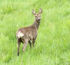 Roe doe - looking over her shoulder (glostopcat) Tags: roedoe roedeer deer doe animal mammal wildlife glos