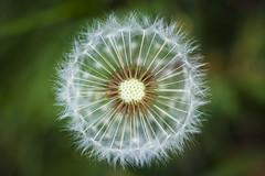 20170426_F0001: Macro hemisphere from above (wfxue) Tags: dandelion seeds round fibers white macro biology plant