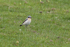 Wheatear (kevinwolves) Tags: wheatear bird baggridgecountrypark baggeridge nature wildlife kevinwolves nikon nikond300 nikon55300mmvr
