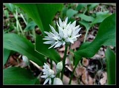 Bärlauch (karin_b1966) Tags: blume flower blüte blossom pflanze plant wildblume wildflower natur nature frühling spring 2017 bärlauch