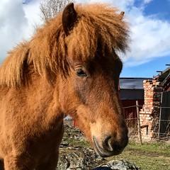 Lilltjejen… (Patrick Strandberg) Tags: iphone iphone7 häst horse islandshäst icelandichorse villimey falla finspång östergötland sweden