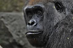 norland d. cruz photography: mountain gorilla at bronx zoo (norlandcruz74) Tags: norland cruz pinoy filam filipino nikon d5000 dx nikkor 70300mm lens telefoto telephoto afs bronx zoo zoological park ny new york usa us america portrait portraits animal animals mammal mammals primate primates fauna april 2017 spring