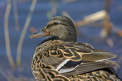 Detailed Mallard 2017 (TheArtOfPhotographyByLouisRuth) Tags: duck bokeh mallard canon5dmarkiii canon100400mmii galaxy supremeimages birds autofocus artofimages thenatureclub theworldofbirds canondslrusers bird justducks stunning closeup