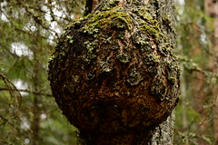 Spruce tree trunk with a growth in a bare spring forest (sergeikudriavtcev) Tags: nature photography trunk tree wart outgrowth excrescence outdoors wood texture picturesque springtime spruce spring background knag photo vegetation view image picture color rural scene season