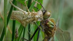 Bei uns in Ostwestfalen hat der Schlupf der Libellen jetzt auch begonnen :-) (AchimOWL) Tags: owl postfocus libelle makro macro natur nature gx80 tier insekt wildlife outdoor lumix panasonic olympus ngc macrodreams falkenlibelle schlupf