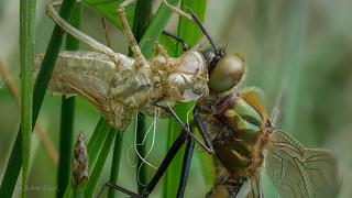 Bei uns in Ostwestfalen hat der Schlupf der Libellen jetzt auch begonnen :-)