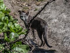 IMG_0482 (troyhulm) Tags: cat kitten street nepal greeneyes