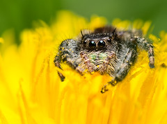 Jumping Spider (benevolentkira7) Tags: spider jumping small tiny macro bug insect