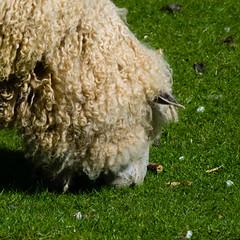 Sheep, Mary Arden's Farm, Wilmcote (Dave_A_2007) Tags: animal mammal nature sheep wildlife wilmcote warwickshire england