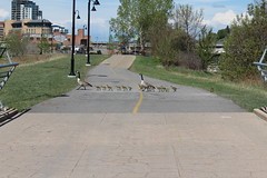 Stopping for traffic. (davebloggs007) Tags: canada calgary river geese village east bow pathway