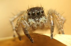 Adult Male Jumping Spider (karthik Nature photography) Tags: macro nature animals closeup canon garden outdoors spider spiders wildlife web spiderweb sigma insects jumpingspider macrophotography salticidae macroworld spiderworld insectphotography spiderphotography malejumpingspider beautifulspiders jumpingspidercloseup jumpingspidersoftheworld beautifuljumpingspiders jumpingspidersofindia forestmacrolife
