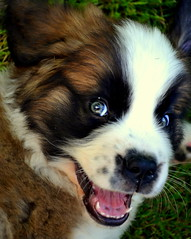 Playful (Katie Moyer) Tags: pet puppy saintbernard beau photograhy dogphotography petphotography saintbernardpuppy katiemoyer
