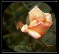 Peace in the morning (MissyPenny) Tags: pink flower rose yellow garden flora peace pennsylvania cream peach peacerose bristolpennsylvania pdlaich missypenny