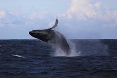 Coming Down (LisaBSkelton) Tags: nature animal canon mammal jump wildlife whale humpback migration nelsonbay portstephens baleen breach 60d lisaskelton