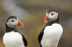 Puffins (Pog's pix) Tags: birds colourful puffins gazing interaction lunga fraterculaarctica auk treshnishisles alcidae treshnish