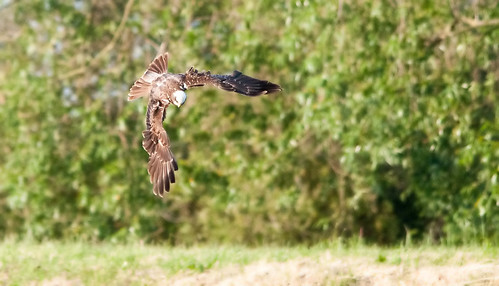 Marsh harrier tophill_filtered