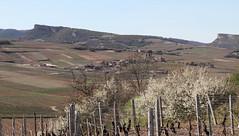 Les 2 roches et le vignoble de Pouilly-Fuissé (Chemose) Tags: spring burgundy bourgogne printemps solutré vergisson