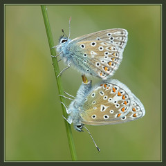 Common Blue (Full Moon Images) Tags: blue macro male nature water female butterfly insect wildlife bcn reserve reservoir trust mating common cambridgeshire grafham