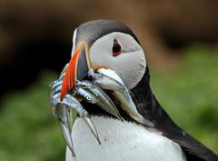 Skomer Puffin 2 (John Ibbotson (catching up!)) Tags: sea wales island cymru puffin pembrokeshire seabird skomer