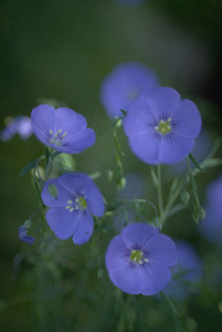 Photo - Blue Flax