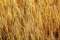 Das lange Warten auf den Sensenmann... (Babaou) Tags: rural germany deutschland landwirtschaft feld nrw ernte niederrhein getreide gerste getreidefeld hre aehre toenisberg