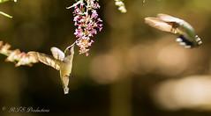 2 Ruby Throat Hummingbirds (Rick Smotherman) Tags: flowers summer stpeters nature leaves birds canon garden outdoors morninglight backyard feeding flight august 7d birdsinflight butterflybush canon300mmf4l missouribirds canon7d