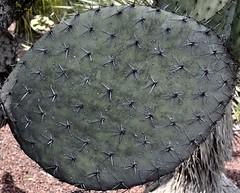 Nopal (Irene Rosas) Tags: nature mxico nikon strangenature d3100 nikond3100