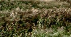 Wind-blown reeds (Steve Brewer Photos) Tags: england reeds movement wind norfolk