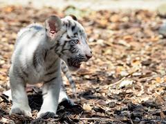 Cachorro Tigre Blanco (Un fotógrafo de andar por casa) Tags: españa blanco zoo sevilla spain nikon martin andalucia cachorro felino iglesias tamron tigre zoopark martiniglesias d7000