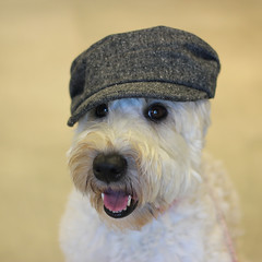 gray hat (Eric.Ray) Tags: dog color smile hat gray days terrier 365 fashionista wheaten maggiemae dpspets