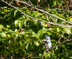 Belted Kingfisher (paramaniac10) Tags: flowers summer portrait stilllife sun holiday fall nature birds animals landscape outdoors landscapes duck spiders wildlife bees nick birding butterflies snail ducks insects bluesky owl flies beetles manayunk canondslr sunnyday lifestyles wissahickoncreek blackthroatedbluewarbler schuylkillcenter dragondamselflies florafungus andorranaturecenter