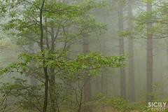 Misty atmosphere (ciccioetneo) Tags: wood autumn mist fog forest volcano etna nord rifugio mtetna mistyforest foggyforest citelli ciccioetneo flickrandroidapp:filter=none etnaautumn