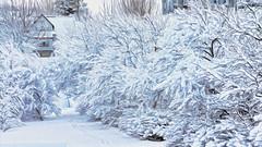 From Iceland. (Tta. 27.12.1964.) Tags: trees winter snow nature iceland hafnarfjrur sland snjr creativemindsphotography slicesoftime blinkagain vision:mountain=0856 vision:outdoor=0982 vision:sky=0835 vision:clouds=0618 vision:snow=0776