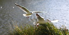 Catch me if you can… (laufar1) Tags: bird inflight wings cusworth