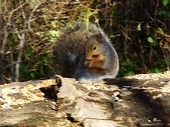 The Tipsy Squirrel (Dana Brady) Tags: ontario feast video squirrel pentax buffet banquet f56 k5 portcredit adamsonestate 18135mm pentaxk5