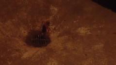 sun spiders (2) in shower_Tanda Tula (m_kabza) Tags: southafrica spider timbavati tandatula