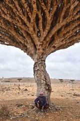 Under the Dragon Tree, Socotra Island (Rod Waddington) Tags: tree island dragon yemen dracaena socotra