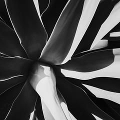 Succulent 2 (JPEG) (Richard-) Tags: losangeles succulent santamonica highcontrast ricohgr