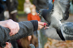 Mr Flappy (Adam Parkes Photography) Tags: park london arm pigeon stjamespark peanut flap photohunt 2013 flapp nikond90 adamparkesphotography londonphotohunt2013
