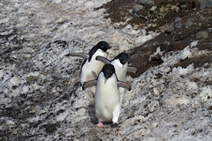 Antarctica - Day Two0278 (GLRPhotography) Tags: brown penguin antarctica bluff adelie 100400