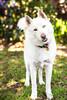 Salt <3 (Gertrude139) Tags: dog white smile happy husky bokeh siberianhusky sibe bieyed