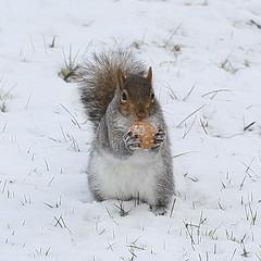 She found a walnut in the snow (Vox Sciurorum) Tags: snow squirrel walnut sciuruscarolinensis canon100 squirrel2012h